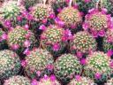 cactus-flowers.jpg