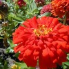 Copy of Beautful red zinnia