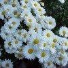 Daisy002